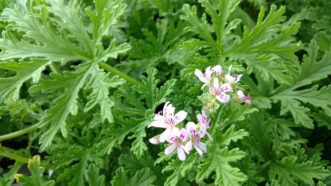 "The ""mosquito geranium"" (Pelargonium citrosum) smells like citronella and is advertised as a natural mosquito repellant. This has not been proven."
