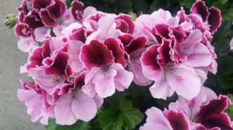 The Martha Washington or regal geraniums (Pelargonium x domesticum 'Regal') are not heat tolerant and are best grown as house plants during cooler months.