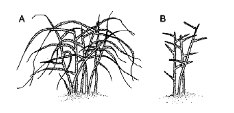 Illustration of black raspberry plant before and after dormancy