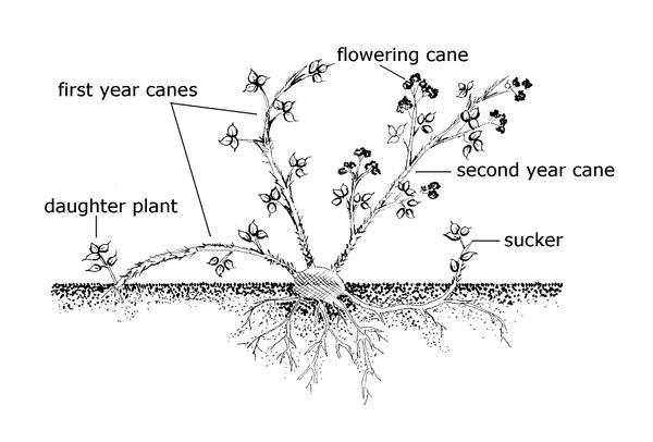 Image is line drawing of plants parts of raspberry.