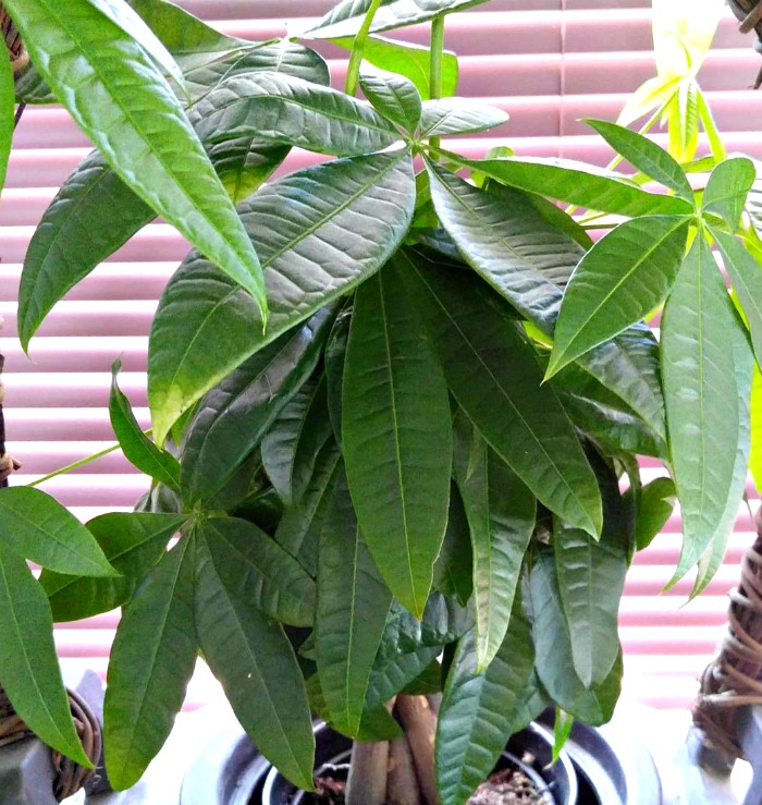 Bright filtered light is best for a Braided Money TreePlant