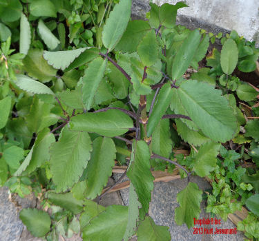 Kalanchoe pinnata-Air plant leaves. The crushed leaves taste slightly sour and bland; they are used for asthma; the fresh juice