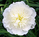 Paeonia lactiflora Barrington Bride.jpg