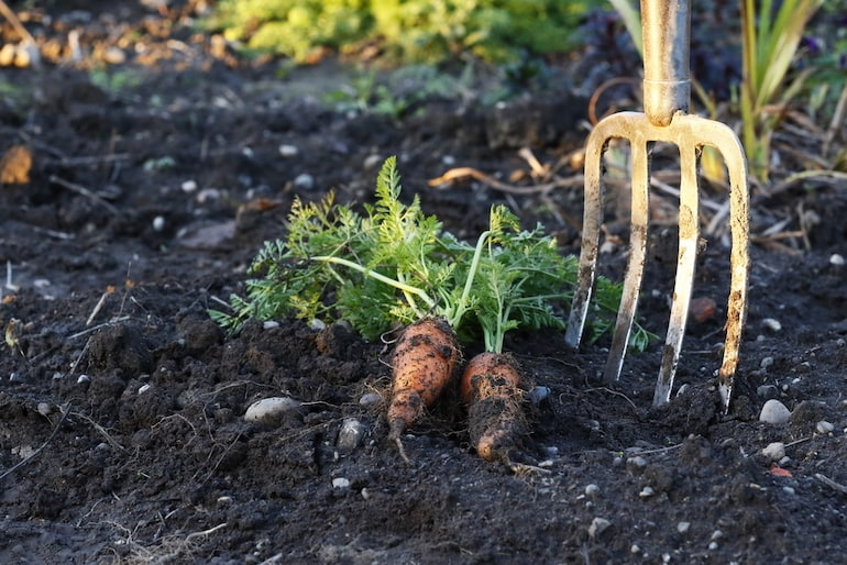 freshly harvested carrots next to a garden fork